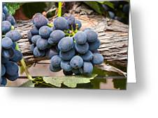 Grape Cluster Vine Greeting Card by Dina Calvarese