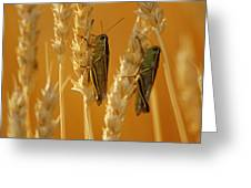 Grasshoppers On Wheat, Treherne Greeting Card by Mike Grandmailson