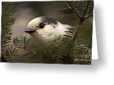 Gray Jay Playing Peek A Boo Greeting Card by Inspired Nature Photography By Shelley Myke