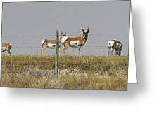 Grazing Antelope Greeting Card by Bruce Bley