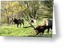 Grazing Elk  Greeting Card by The Kepharts