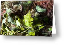 Green Arrowhead Crab, Papua New Guinea Greeting Card by Steve Jones
