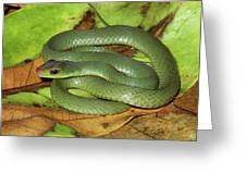 Green Racer Drymobius Melanotropis Amid Greeting Card by Michael & Patricia Fogden