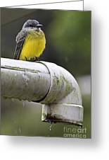 Grey-capped Flycatcher Greeting Card by Heiko Koehrer-Wagner