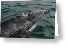 Grey Whale Calf Greeting Card by Raul Gonzalez Perez
