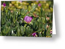 Ground Cover Succulent Pig Face Greeting Card by Jason Edwards