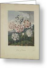 Group Of Carnations Greeting Card by Robert John Thornton