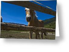 Haflinger Horse Looks Through A Fence Greeting Card by Todd Gipstein