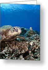 Hawaiian Turtle On Pacific Reef Greeting Card by Dave Fleetham