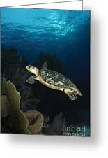 Hawksbill Sea Turtle Swimming Greeting Card by Todd Winner