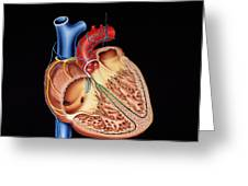 Heart Structure Greeting Card by Francis Leroy, Biocosmos