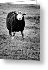 Herdwick Sheep Greeting Card by Meirion Matthias
