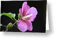 Hibiscus  Greeting Card by Fraida Gutovich