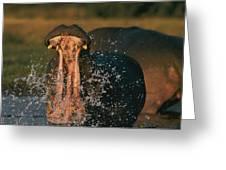 Hippopotamus Hippopotamus Sp., Zambezi Greeting Card by Chris Johns