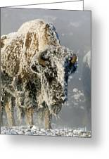 Hoarfrosted Bison In Yellowstone Greeting Card by Sandra Bronstein