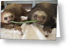Hoffmanns Two-toed Sloth Orphans Eating Greeting Card by Suzi Eszterhas