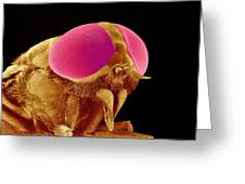 Hover Fly Head, Sem Greeting Card by Susumu Nishinaga Photo Library