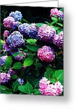 Hydrangeas  Greeting Card by Nancy Mueller