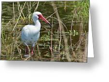 Ibis at Local Pond Greeting Card by Lynda Dawson-Youngclaus