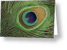 Indian Peafowl Pavo Cristatus Display Greeting Card by Gerry Ellis