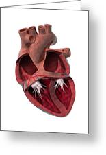 Internal Heart Anatomy, Artwork Greeting Card by Claus Lunau