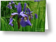 Irises Greeting Card by Randi Shenkman