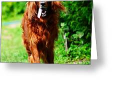 Irish Setter V Greeting Card by Jenny Rainbow