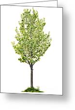Isolated Flowering Pear Tree Greeting Card by Elena Elisseeva
