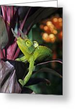 Jacksons Chameleon On Leaf Greeting Card by Dave Fleetham - Printscapes