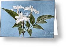 Jasminum officinale Greeting Card by John Edwards