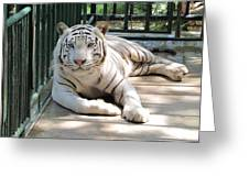 Kimar The White Tiger Greeting Card by Keith Stokes
