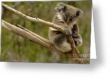 Koala At Work Greeting Card by Bob Christopher