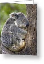 Koala Phascolarctos Cinereus Sleeping Greeting Card by Pete Oxford