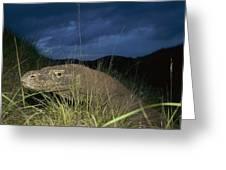 Komodo Dragon Varanus Komodoensis Greeting Card by Cyril Ruoso