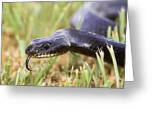 Large Whipsnake (coluber Jugularis) Greeting Card by Photostock-israel