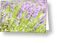 Lavender Blooming In A Garden Greeting Card by Elena Elisseeva