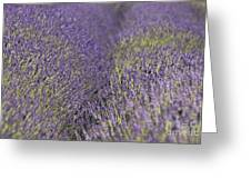 Lavender Fields Heart Greeting Card by Anahi DeCanio