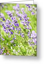 Lavender In Sunshine Greeting Card by Elena Elisseeva