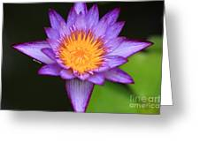 Lavender Waterlily Greeting Card by Cheryl Young