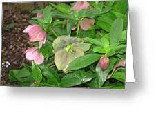 Lenten Rose Greeting Card by Jody Prater