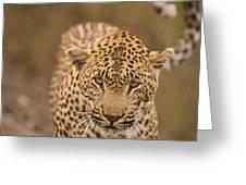 Leopard Panthera Pardus, Arathusa Greeting Card by Stuart Westmorland