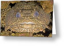 Leopard Toadfish Greeting Card by Clay Coleman