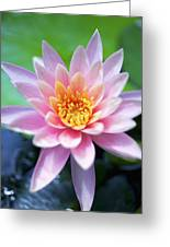 Light Pink Water Lily Greeting Card by Kicka Witte