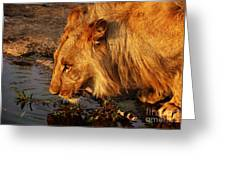 Lion's Pride Greeting Card by Andrew Paranavitana