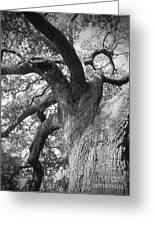 Live Oak Greeting Card by Waverley Dixon