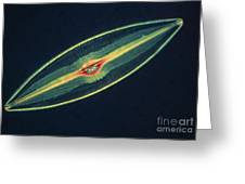 Lm Of A Diatom Alga, Caloneis Permagna Greeting Card by Eric Grave