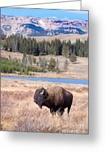 Lone Buffalo Greeting Card by Cindy Singleton