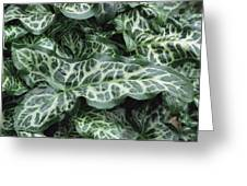 Lords And Ladies (arum Italicum 'pictum') Greeting Card by Archie Young