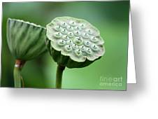 Lotus Seed Pods Greeting Card by Sabrina L Ryan