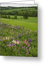 Lupines Grow In Front Of Hay Fields Greeting Card by Taylor S. Kennedy